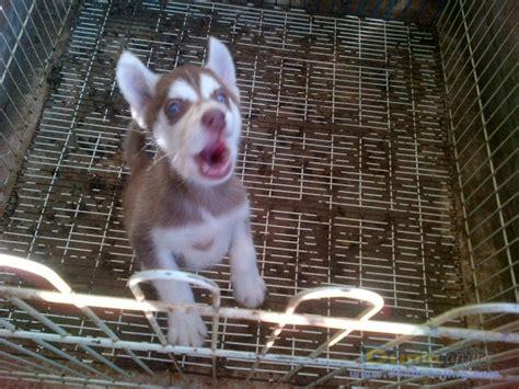 Jual Masker Mata Surabaya dunia anjing jual anjing siberian husky jl husky