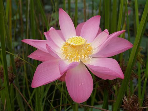 lotus flower flower picture lotus flower 1