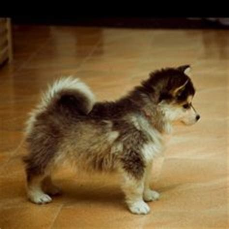 husky that stays small forever a pomsky things i want