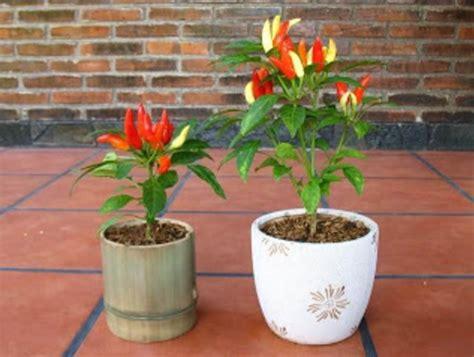 cara membuat zpt organik untuk tanaman cabe cara budidaya cabe dalam pot atau polybag