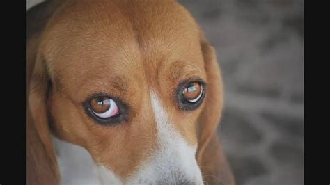 eye infection in dogs eye infection symptoms for the