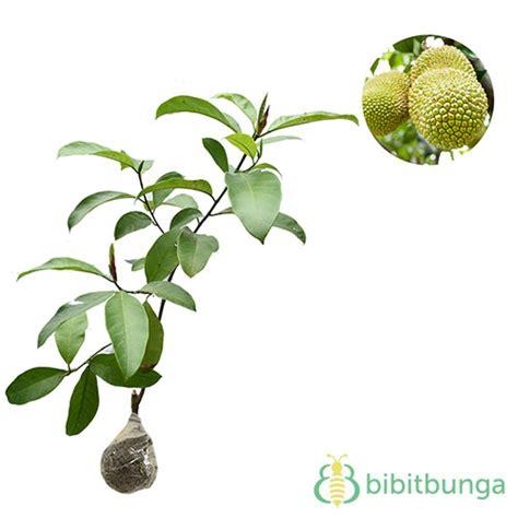 tanaman cempedak durian bibitbunga