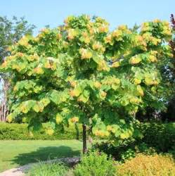 Best Climbing Plants For Shade - the rising sun redbud buy online best prices