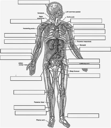 anatomy and physiology coloring workbook answers figure 16 5 free anatomy and physiology coloring pages 470548