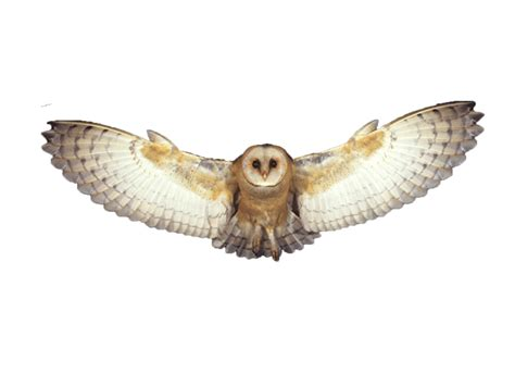 flying owl clipart owls png images free bird owl png