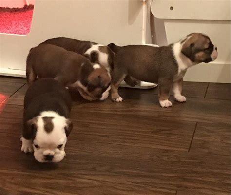 12 week puppy 12 weeks bulldog puppy offer 11