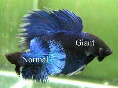 Makanan Terbaik Ikan Cupang Hias 6 jenis ikan cupang hias dan aduan yang mahal dan terbaik