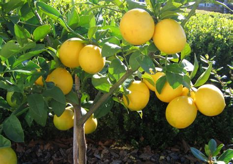 Can You Grow Fruit Trees Indoors - meyer lemon tree care tips enkivillage