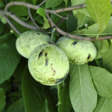 pennsylvania golden pawpaw pawpaw trees stark bro s - Fruit Trees In Pa