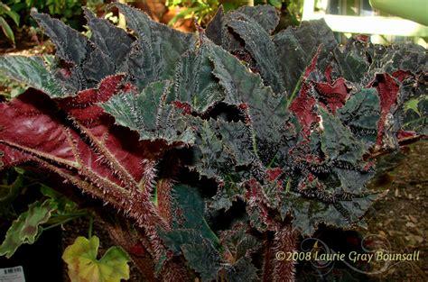 plantfiles pictures begonia rhizomatous begonia black