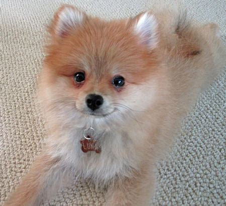 best names for pomeranian puppies 10 best pomeranian names pinsit