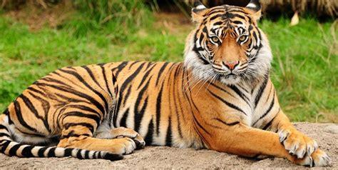 imagenes de tigres verdes vista de los tigres