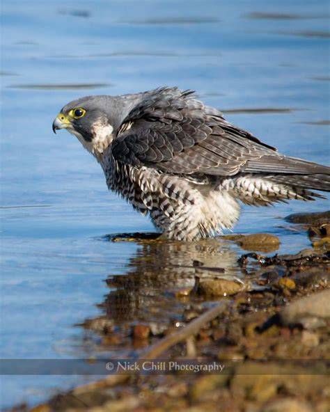 bathing peale s peregrine falcon san diego california