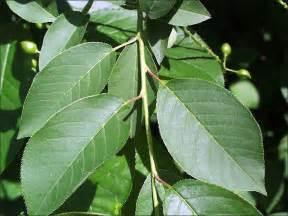isu forestry extension tree identification black cherry prunus serotina