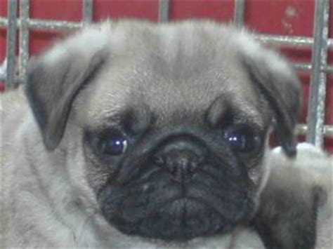 pugs for sale raleigh nc pug puppies in kansas