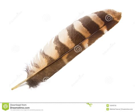 owl wing feather isolated stock image image of close