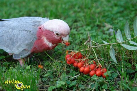 fruit d un sorbier alimentation le sorbier des oiseleurs un arbre 224