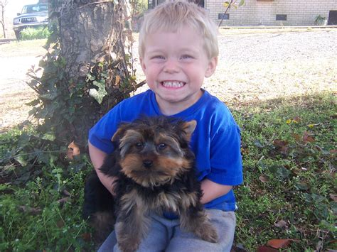 yorkie breeders in oklahoma yorkies for sale