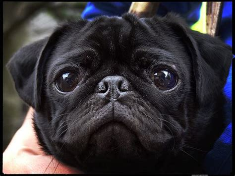 large pug what a beautiful baby those big show sweetness animals