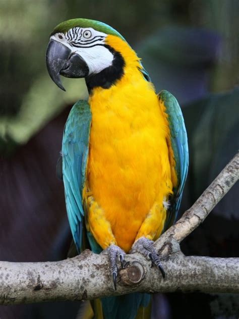parrot encyclopedia blue  yellow macaw world parrot