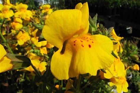 fiori di bach mimulus mimulus guttatus the watershed nursery