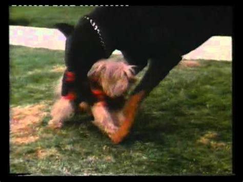the hammer why dogs attack us and how to prevent it books doberman attack s yorkie and kill s it