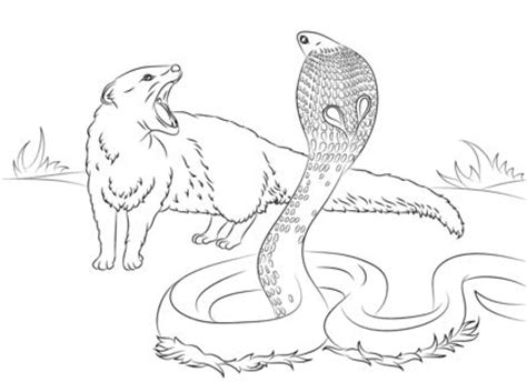 printable version of rikki tikki tavi rikki tikki tavi science cobra vs mongoose coloring