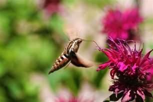 white lined sphinx hummingbird moth morning bray farm