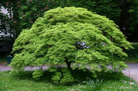 japanese maples specimen trees sun tolerance mulch pruning watering fertilizing