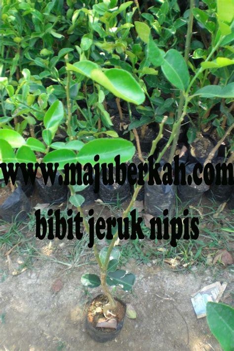 Jual Bibit Jeruk Nipis Tulungagung bibit jeruk nipis bibit tanaman jeruk nipis jual bibit