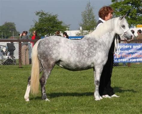welsh section c temperament pasadena stud welsh mountain ponies with superb