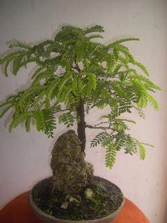 Bakalan Bonsai Asam Jawa iskandar bonsai asam jawa
