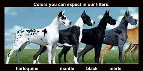 color explained a breeder s perspective books great dane breeders southern california breeds picture