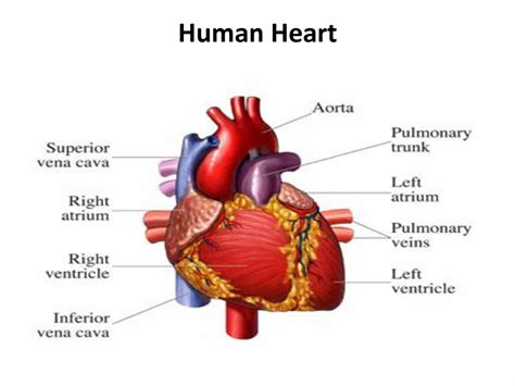 The Heartbreaker by Images Of Human Human Anatomy Diagram