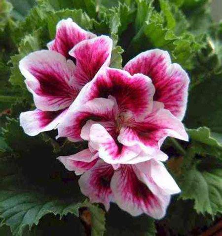 fiori antizanzare piante antizanzare