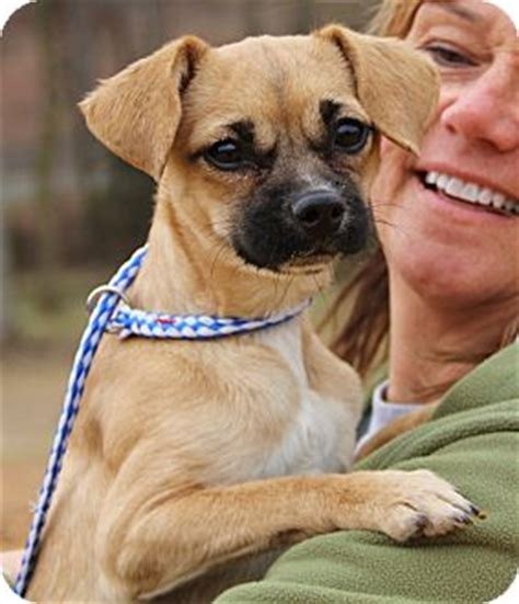 pugs in ct adopted stamford ct pug chihuahua mix