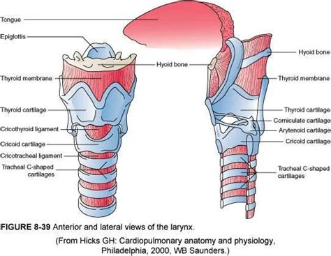 intubation diagram anatomy of the airway