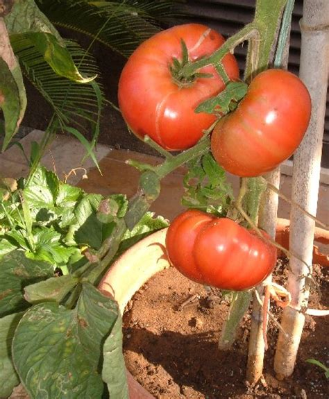 come potare i pomodori in vaso il pomodoro brandwine coltivato in vaso l orto sul balcone