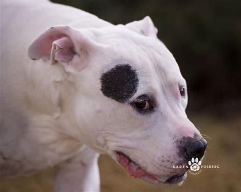 dogs for adoption spokane pets for adoption spokane wa fosberg photography fosberg photography