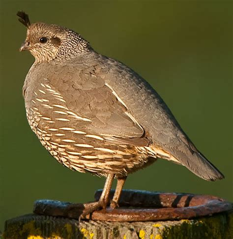 bird species california quail