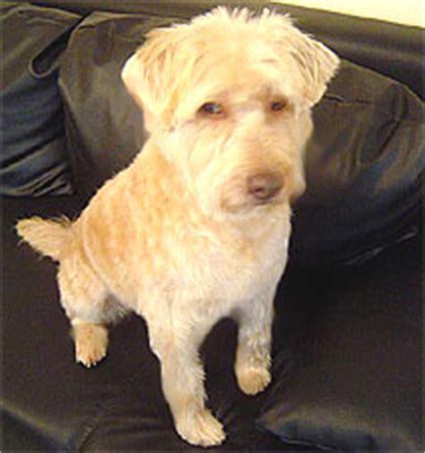 yorkie ton yorkie ton coton de tulear terrier mix breeds picture