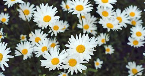 grow chamomile   herb flower garden