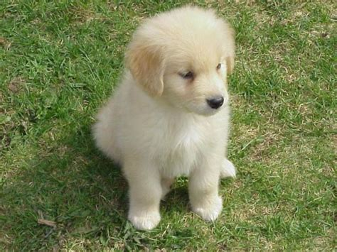 cutest golden retriever in the world top 10 smartest breeds in the world pouted magazine design