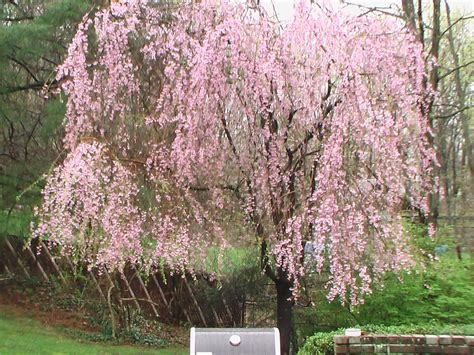 in the garden with ni weeping cherry tree