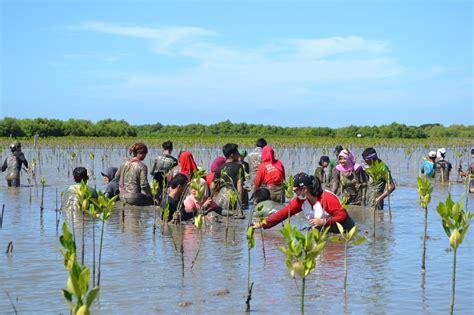 Bibit Mangrove menanan bibit pohon mangrove secara langsung muara
