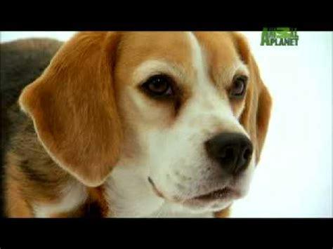 dogs 101 beagle beagle dogs 101