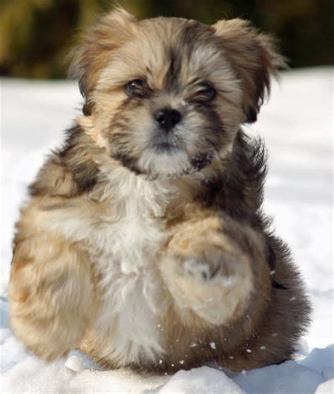 lhasa apso puppies lhasa apso our faithful and loyal companions our dogs