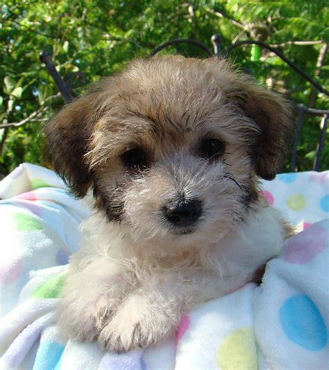 Non Shedding Cross Breed Dogs by Poodle Cross Puppies For Sale Adelaide Breeds Picture