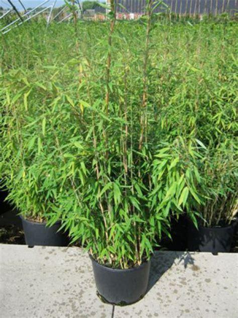 Garten Bambus Jumbo Kaufen by Fargesia Murielae Jumbo G 252 Nstig In Top Baumschulqualit 228 T