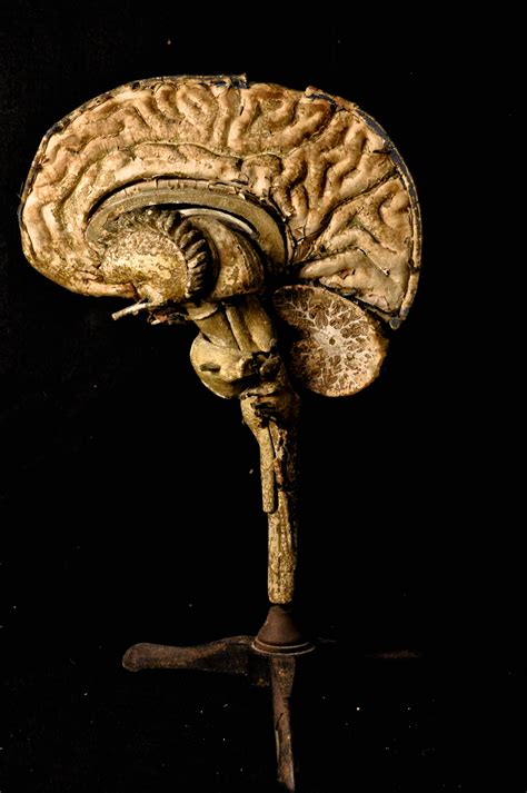 How To Make A Paper Mache Brain - paper mache brain 1800 s teaching tool by